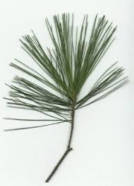 white pine needles search planting materials