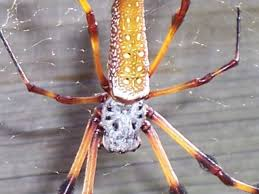 golden silk spider hgtv