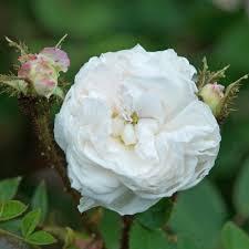 Teal Roses Moss Roses David Austin Roses