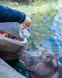 fiona the hippo gets own rookwood pottery