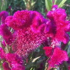 cockscomb flower celosia cockscomb siskiyou seeds