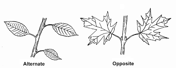Leaf Dichotomous Key Worksheet Flora Of The World