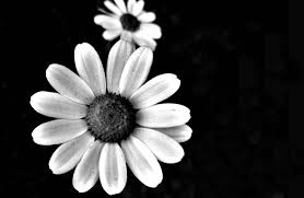 black and white flowers 7733 1835x1199 px hdwallsource com