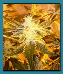 wedding cake genetics animal walker by seed genetics seedfinder strain info