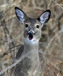 bi state wildlife hotline inc deer