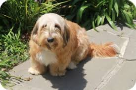 bearded collie x terrier bobbie sue adoption pending adopted dog norwalk ct