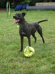 belgian shepherd x staffy lurcher cross dogs for adoption uk rescue dogs