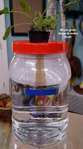 clear container hydroponic lettuce kratky method shirley bovshow