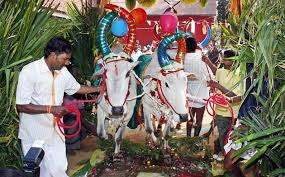 what is thai pongal festival celebrations thai pongal