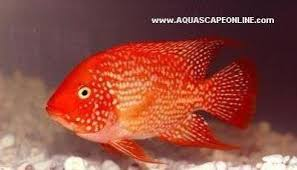 Aquascape Online Red Texas Cichlid 3 4