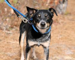 3 4 australian shepherd 1 4 blue heeler juliet a sweet 2 year old shepherd heeler mix dog rescued in