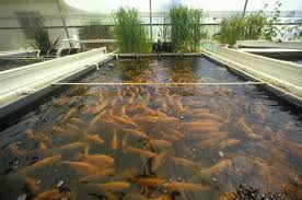 fish farming info guide for beginners agrifarming in