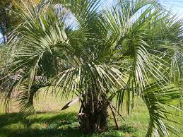 north texas native plants palm trees