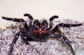Are Spiders Attracted To Light Hidden Housemates The Australian Redback Spider