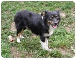 pictures of australian shepherd dogs females willow aussie miniature australian shepherd puppies for sale