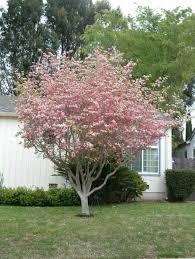 backyard with cornus florida tree growing cornus florida trees