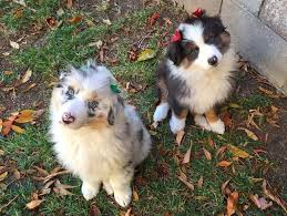 australian shepherd wolf 16 pictures that perfectly sum up what it u0027s like to own an