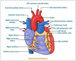 Gross Anatomy Of The Human Heart Human Heart Anatomy Labeling Gross Anatomy Of The Heart Anterior