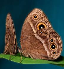 scientists turn a brown butterfly purple in just six generations
