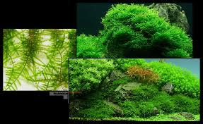 Aquascape Moss Christmas Moss Vesicularia Montagnei