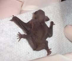 small bat bats found in rooms bat conservation trust