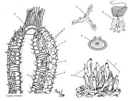 sponge anatomy coloring and information sheet biology logic