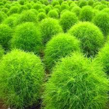 aliexpress buy blue grass seeds perennial 500pcs grass