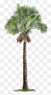 palm tree png images vectors and psd files free on