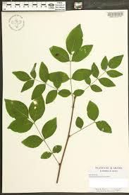 native plants of alabama zanthoxylum americanum species page apa alabama plant atlas