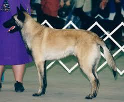 belgian sheepdog breeders pa register of merit u2013 3rd class u2013 abmc