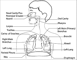 respiratory system sketch drawing coloring page wecoloringpage