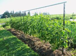 Tomatoes Trellis 9 Amazing Diy Ideas U2013 How To Make Tomato Trellis Colorgardening Com