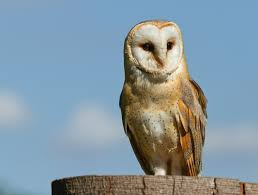 What Does A Barn Owl Look Like Barn Owl Owl Facts And Information