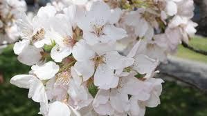 cherry blossom pics cherry blossom festival u s national park service