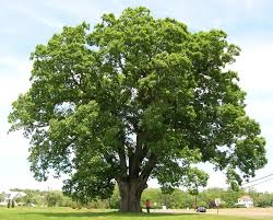 sw white oak tree for sale lowest prices now