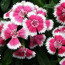 dianthus flower buy dianthus chinensis seeds online at nursery live best