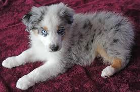 south florida australian shepherd mini australian shepherd puppy for sale in boca raton south florida