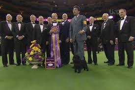affenpinscher group best in show 2013 affenpinscher wins at westminster dog show