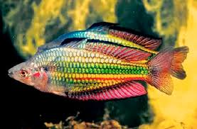species rainbow fish picture photoshopped