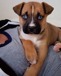 6 week pregnant boxer dog best 25 boxer husky mix ideas only on pinterest pitbull boxer