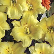 stella daylily hemerocallis stella supreme from wayside gardens