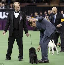 affenpinscher uk breeders top dog banana joe the affenpinscher beats swagger the sheepdog by
