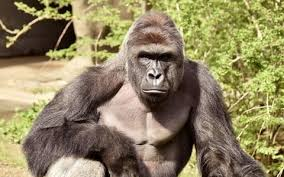 Gorilla Memes - cincinnati zoo deletes twitter account over abuse and memes of