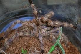 salem ornamental tarantulas adults