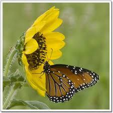 jojo s photobox sunflower with butterfly