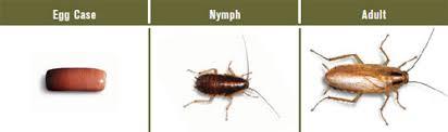 roaches in my bathroom german roaches german cockroach german roach control german