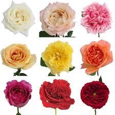 roses wholesale premium assorted garden wholesale bulk jr roses wholesale