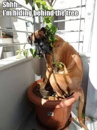 boxer dog mean 25 best funny boxer dogs ideas on pinterest funny boxer puppies