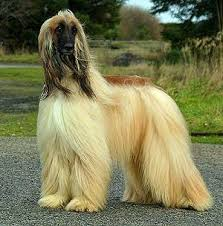 afghan hound teeth everything about your afgan hound luv my dogs