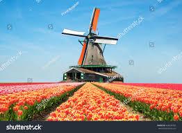 landscape netherlands bouquet tulips windmills netherlands stock